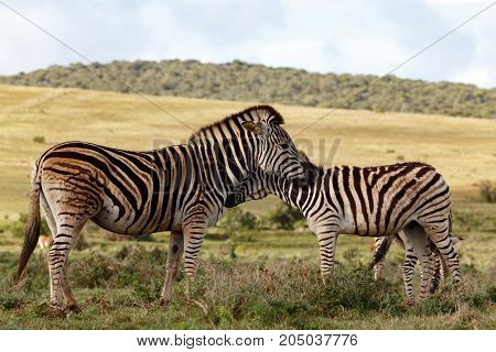 Close Up Of Two Zebras Rubbing Their Necks Against Each Other