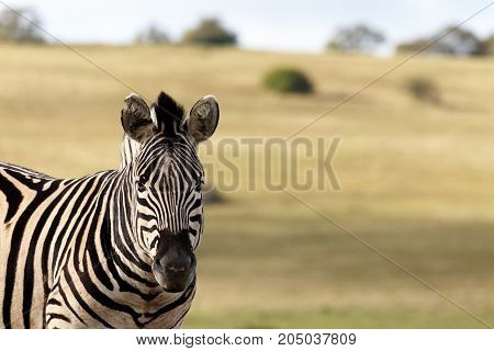 Zebra Standing Still And Staring In Front Of Him