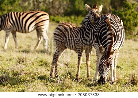 Baby Zebra Rubbing His Head Against His Mom's Back