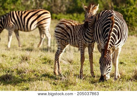 Baby Zebra Holding His Head Against His Mom's Back