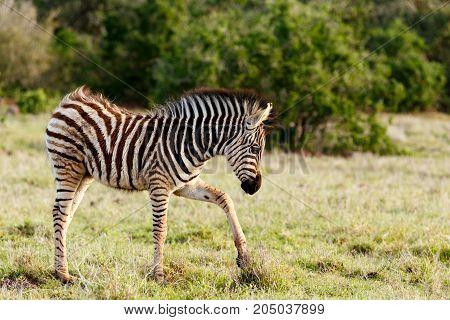 Baby Zebra Scratching In The Grass
