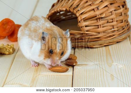 A small hamster eats an almond nut at his wicker house.