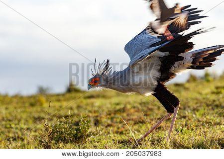 Secretary Bird Running And Chasing The Birds