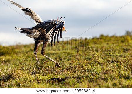 Secretary Bird Chasing The Birds