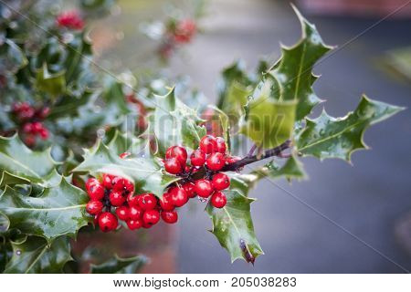 Branch of English holly Leaves and Berries. red berries from a holly tree