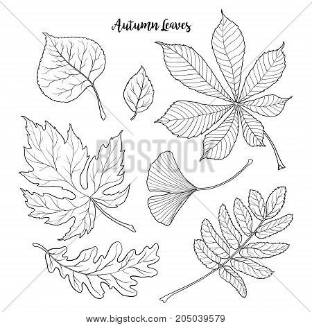 Set of hand drawn black and white autumn falling leaves - rowan, chestnut, oak, aspen, maple, gingko, sketch style vector illustration isolated on white background. Hand drawn, outlined autumn leaves
