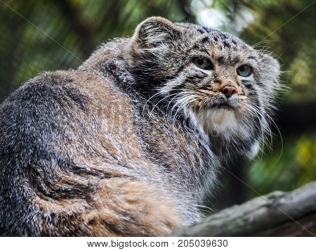 Pallas's cat, also known as the manul. Evil look.
