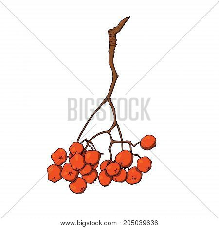 Hand drawn hanging bunch of red rowan, ash tree berries, sketch style vector illustration isolated on white background. Hand drawn bunch of rowan berries, side view vector illustration