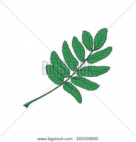 Hand drawn green rowan, ash tree leaf, sketch style vector illustration isolated on white background. Hand drawn rowan leaf, isolated vector illustration