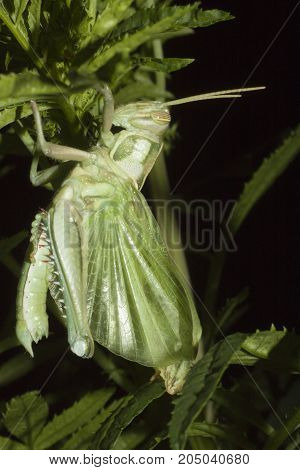 Insect the nature of Middle aged grasshopper hiding hut with a green tree on night time.