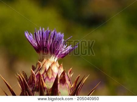 Flower head of wild artichoke beginning to sprout