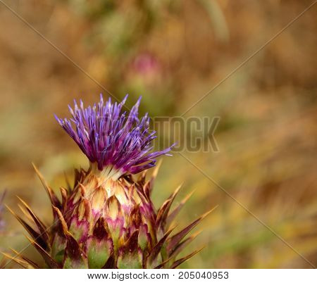 Isolated floral head of wild artichoke in foreground
