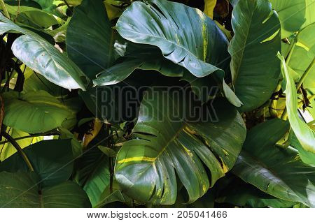 fresh green leaf monstera growing in garden