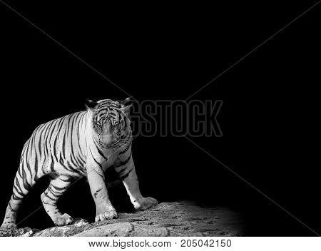 animal wildlife concept. Black & White Beautiful tiger - isolated on black background