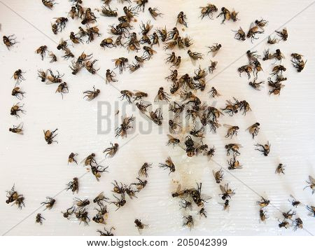 Many several dead flies caught on sticky fly paper trap
