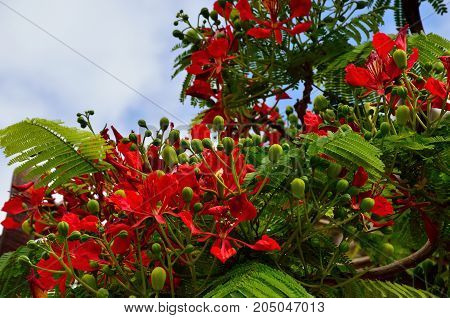 Flamboyan in bloom with many green buds, delonix regia