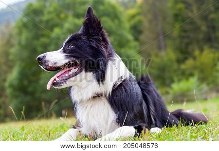 Portrait of border collie lying on the grass