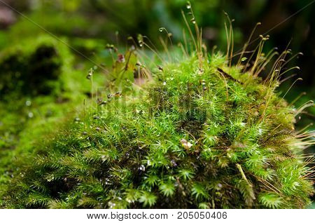 Beautiful moss in tropical jungle rain forest, Thailand. beautiful water drops of water on the branches green moss.