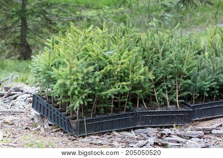 Small Pine Trees Waiting To Be Planted In A Forest