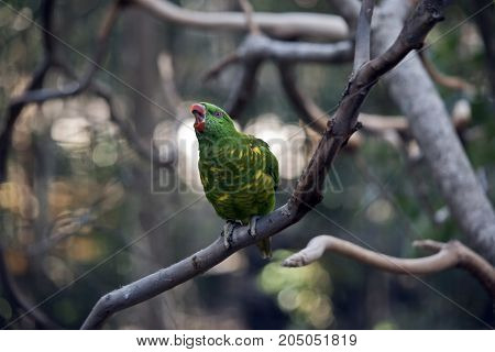 the scaly-breasted lorikeet is singing a song