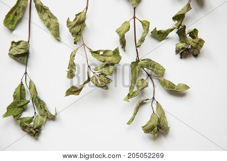 Beautiful Dried Peppermint Ready To Be Made In Tea. Peppermint On A White Background. Healthy, Refre
