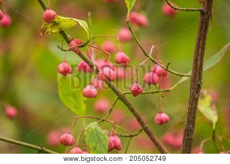 Beautiful bright fruits of spindle tree in autumn in natural habitat. Colorful autumn closeup. Pink fruits in green leaves.