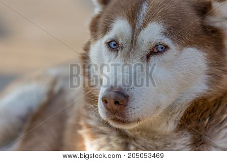 SIberian husky, blue eyes, lying on the ground and looking straight at the camera during the winter