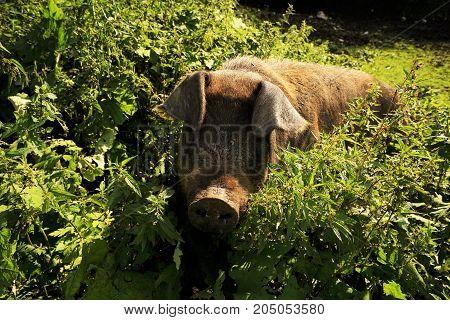 Big domestic pig in pastureland in summer