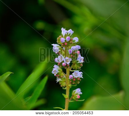Isolated cluster of small flowers on green background, echium strictum