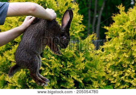 the young man is holding in hands a gray rabbit