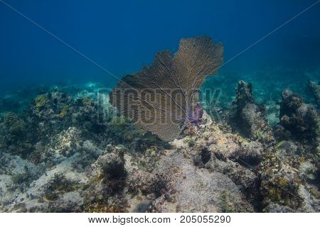 Big Coral Fan