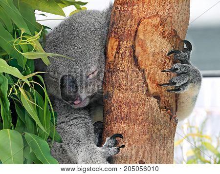 Closeup Cute Koala Sleeping on Eucalyptus Tree