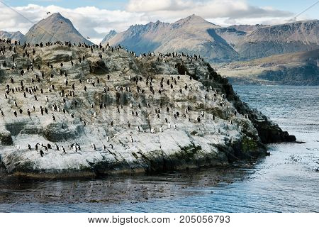 Colony of King Cormorants on a small island Beagle Channel Tierra Del Fuego Argentina
