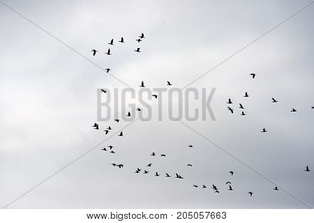 Flock of cormorants in the air over Roemoe island in th Danish Wadden Sea. Danish national park under UNESCO World Heritage.