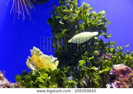 Underwater scene with the orange spotted filefish