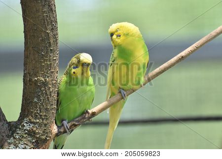 Two yellow and green parakeets sitting on a tree branch.
