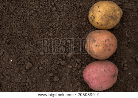 Textures Plenty Of Fresh Unpeeled Potatoes Harvested From The Field. Red, Pink And Yellow. Gradient