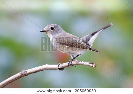Taiga Flycatcher Ficedula Albicilla Cute Birds Of Thailand
