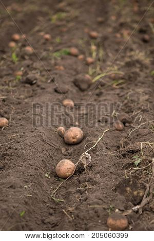 Agricultural Field On Which Potatoes Are Harvesting.