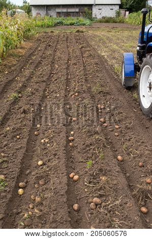 Digging Up Combs Of Potato With Small Tractor.