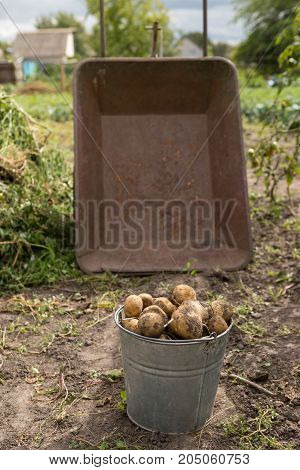Gathering Potato Harvest In Metal Rural Trolley Cart And Old Bucket On Organic Farm