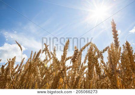 Spikelets in yellow wheat field under nice blue cloud sky sith sun