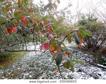 Beautiful autumn branches against the background of the first snow.