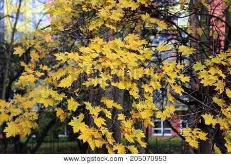 Beautiful bright yellow branches of autumn maple tree