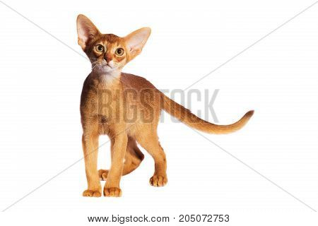 abyssinian cat isolated isolated on a white background, studio shot