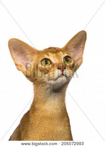 Portrait  Abyssinian Cat