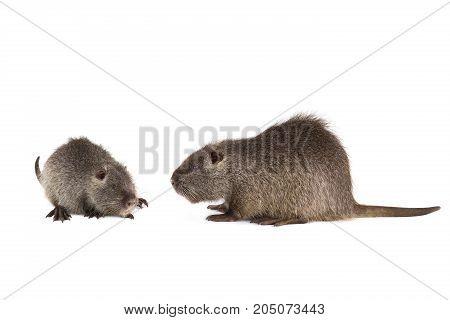 Two Coypu (myocastor Coypus)