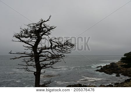Silhouette Of A Dry Tree On The Coast Along 17 Miles Of Road
