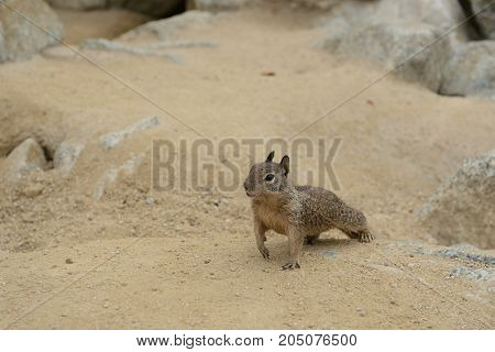 Сute Little Squirrel In The Sand On The Coast