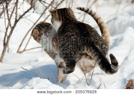 two cats fighting in the winter on the snow